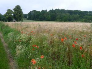 Wandelen langs graanvelden in Nieuwrode