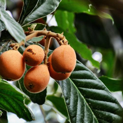 Loquat---Loquat is een fruit dat je zelden aantreft in groentewinkels. Het heeft enige medicinale waarde. Wat veel meer geneeskrachtige eigenschappen heeft zijn de bladeren van loquat. Deze werken onder andere tegen kanker. Verder bevatten ze veel stoffen die in het lichaam worden omgezet tot vitamine A. Deze stoffen zitten eveneens in het vruchtje. Pectine in het vruchtje loquat heeft geneeskrachtige eigenschappen. De bladeren en de zaden bieden geneeskracht maar wel met een aanwijzing. Het zaad moet niet opgegeten worden. Het blad ook niet; bladeren en zaad bieden geneeskracht als ze in minimale vorm worden gebruikt.