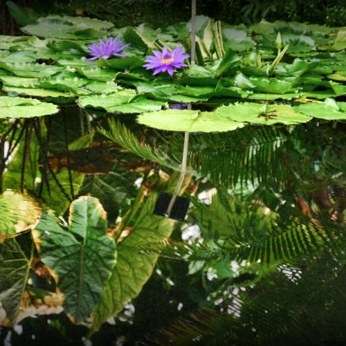 Egyptische blauwe lotus