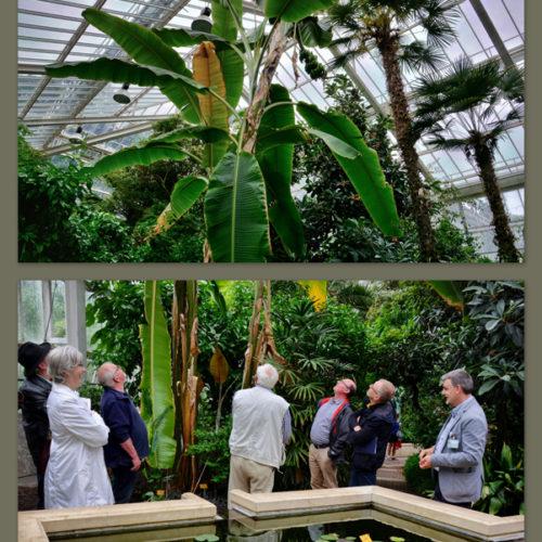 De abaca (Musa textilis) is een bananensoort die een vezel levert, de manillahennep. Als alle bananen is het een forse plant (tot een hoogte van 8 m) met een schijnstam, die bestaat uit brede bladscheden die zich aan de top horizontaal spreiden