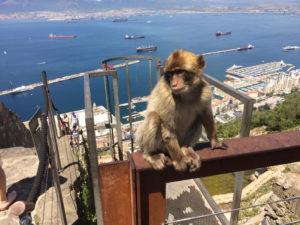 De apen komen de toeristen begroeten bij het bovenstation van de kabelbaan